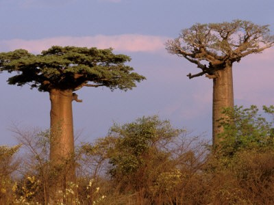 Adansonia digitata, Baobab Tree