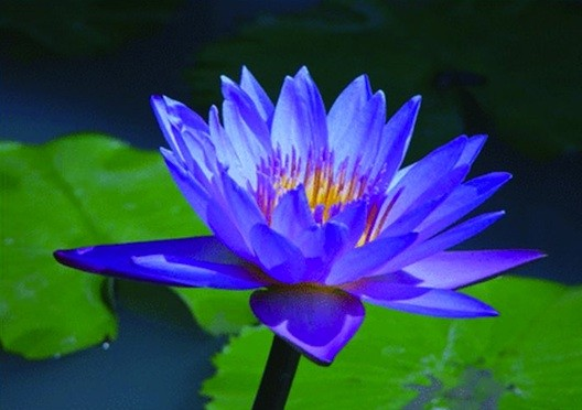 Nymphaea caerulea, Blue Lotus