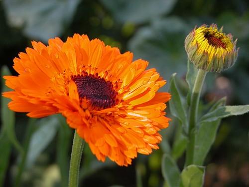 Calendula officinalis, Calendula Flowers