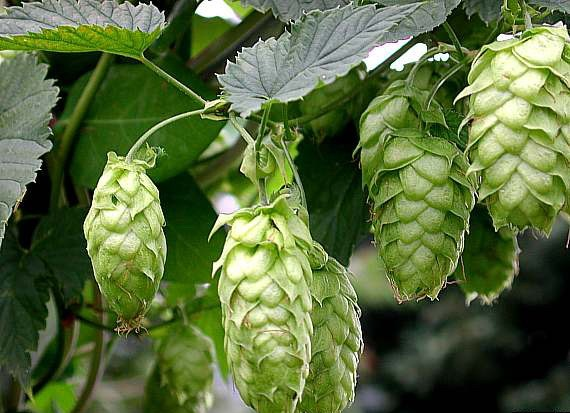 Humulus lupulus, Hops 