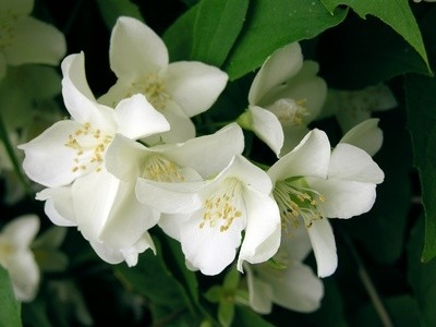Jasminum officinale, Jasmine Flower