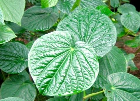 Piper methysticum, Kava Kava