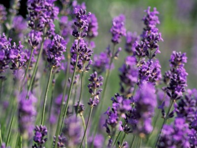 Lavandula officinalis, Lavender