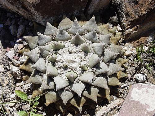 Ariocarpus Fissuratus, Living Rock Cactus