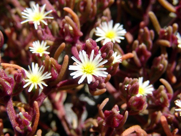 Mesembryanthemum Nodiflorum, Ice Plant