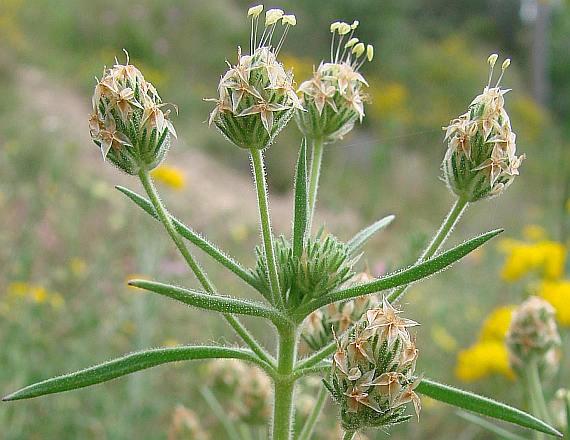 Plantago psyllium, Psyllium
