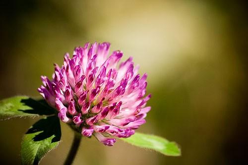 Trifolium pratense, Red Clover Blossom