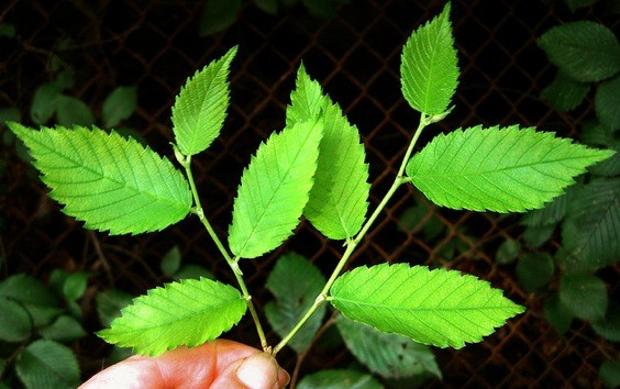 Ulmus Fulva, Slippery Elm