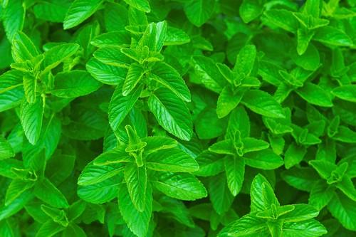 Mentha spicata, Spearmint