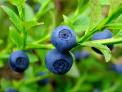Vaccinium myrtillus, Bilberry Fruit