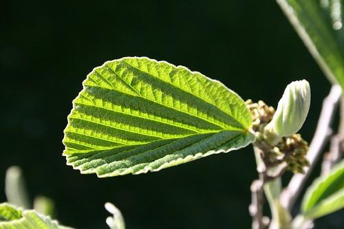 Hamamelis virginiana, Witch Hazel Leaf