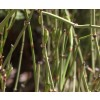 Ephedra viridis, Mormon Tea, Ma Huang