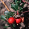 Arctostaphylos uva ursi, Bearberry, Kinick Kinick