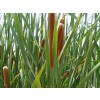 Typha capensis, Bulrush