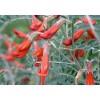 Sutherlandia frutescens, Balloon Pea
