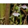 Elettaria cardamomum, Cardamon Pods