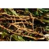 Taraxacum officinale, Dandelion Root