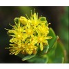Rhodiola rosea, Golden Root