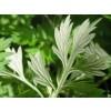 Artemisia vulgaris, Mugwort