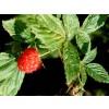 Rubus idaeus, Raspberry Leaf