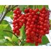 Schisandra chinensis, Schisandra Berries