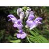 Scutellaria lateriflora, Skullcap