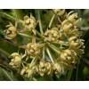 Xysmalobium undulatum, Uzarae