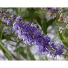 Vitex agnus-castus, Vitex Berries