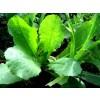 Lactuca Virosa, Wild Lettuce, Opium Lettuce