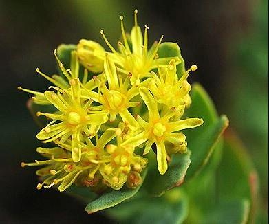 Rhodiola rosea, Golden Root