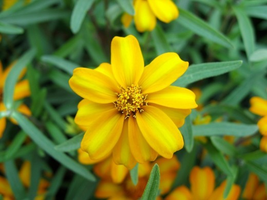 Tagetes lucida, Mexican Mint Marigold