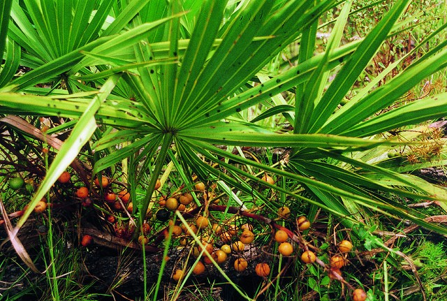 Serenoa repens, Saw Palmetto Berry