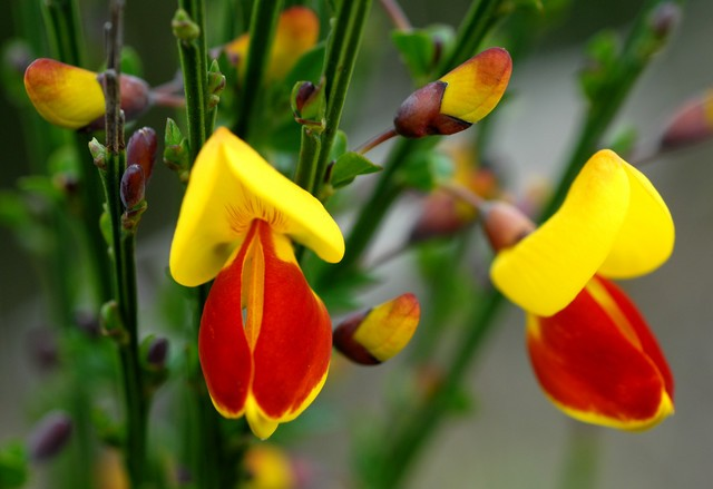 Cytisus scoparius, Scotch Broom
