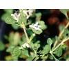 Lagochilus inebrians, Inebriating Mint