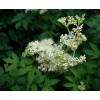 Filipendula ulmaria, Meadowsweet