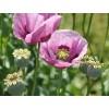Papaver somniferum, Opium Poppy Seeds