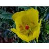 Argemone mexicana, Prickly Poppy