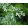 Artemisia Absinthium, Wormwood